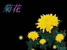 菊花_摄影摄像_生活休闲[宝典]
