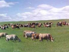 肉牛育肥技 术PPT课件