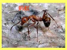 教科版科学三上《蚂蚁》PPT课件