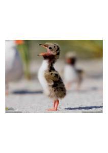 2011年2月5日 Common Tern Chick