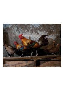 2011年2月25日 Red Jungle Fowl