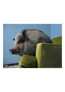 2011年3月20日 Vietnamese Potbellied Pig, Minnesota