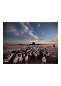 2011年3月28日 Sheep and Goats, Timbuktu