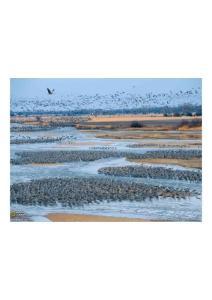 2011年4月5日 Sandhill Cranes, Platte River