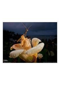 2011年4月26日 Praying Mantis, Panama