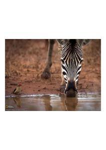 2011年5月3日 Oxpecker and Zebra, South Africa