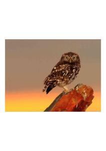 2011年1月9日 Little Owl..
