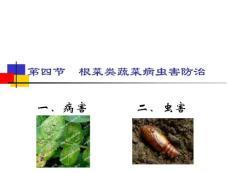 根菜类蔬菜病虫害防治