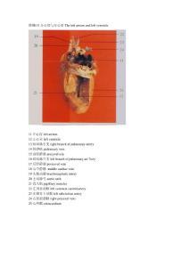 大鼠解剖图